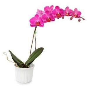 Oba Hortifruti Orquídea Phalaenopis R$22,99 a unidade